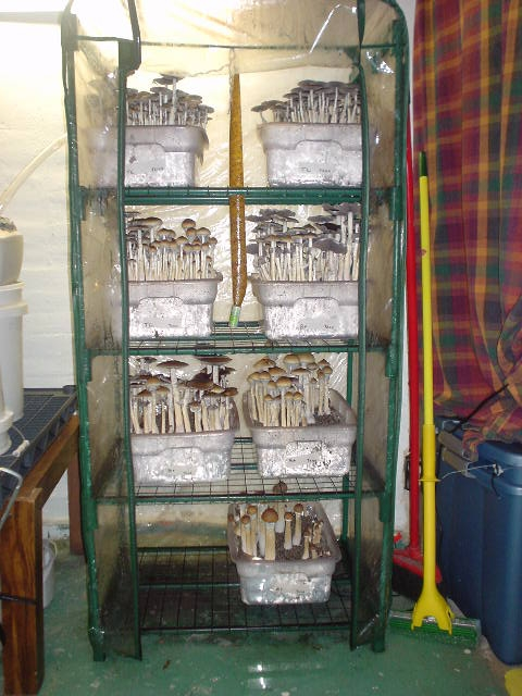 MarthaTerrariums Vs MonoTubs  Mushroom Cultivation