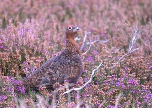 RP+P_red_grouse_1