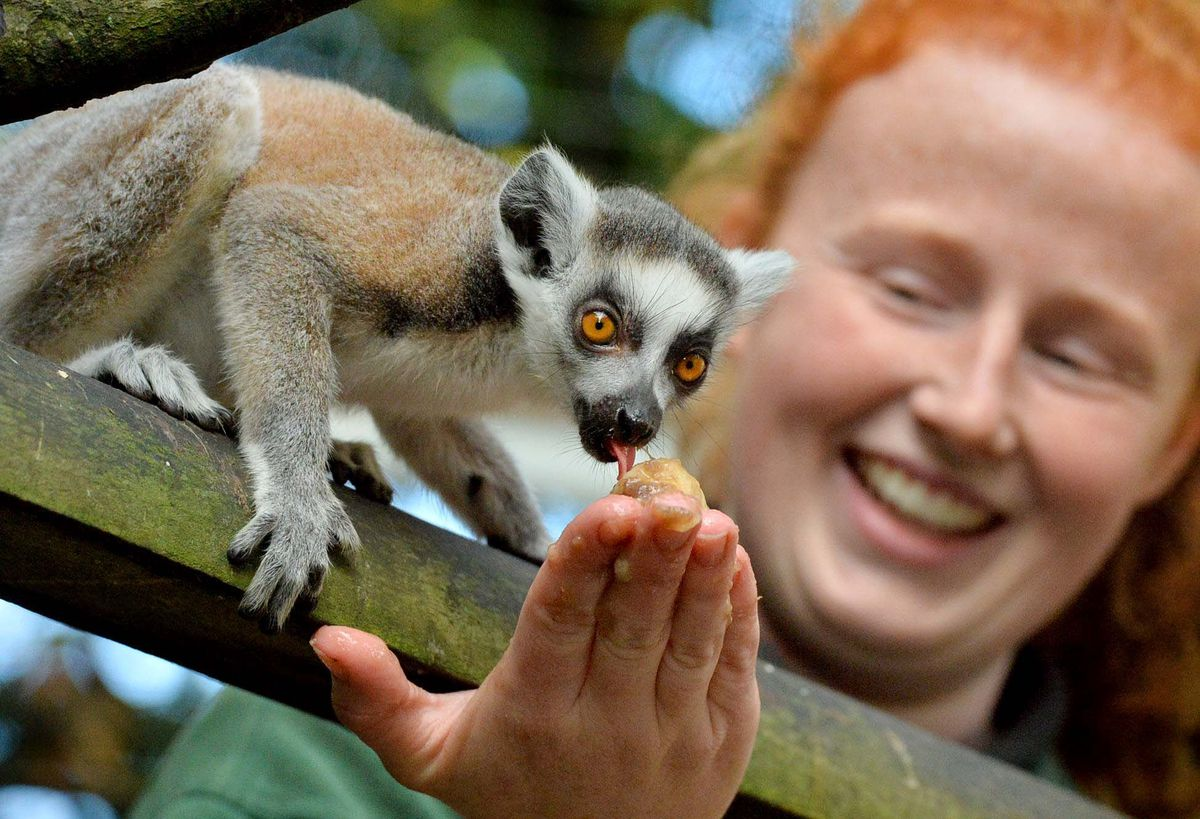 Shropshire Zoo appeals for name ideas for baby lemur   Shropshire Star