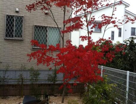 紅葉 を迎えたモミジ。真っ赤に色付いて白い建物が彩り豊かに
