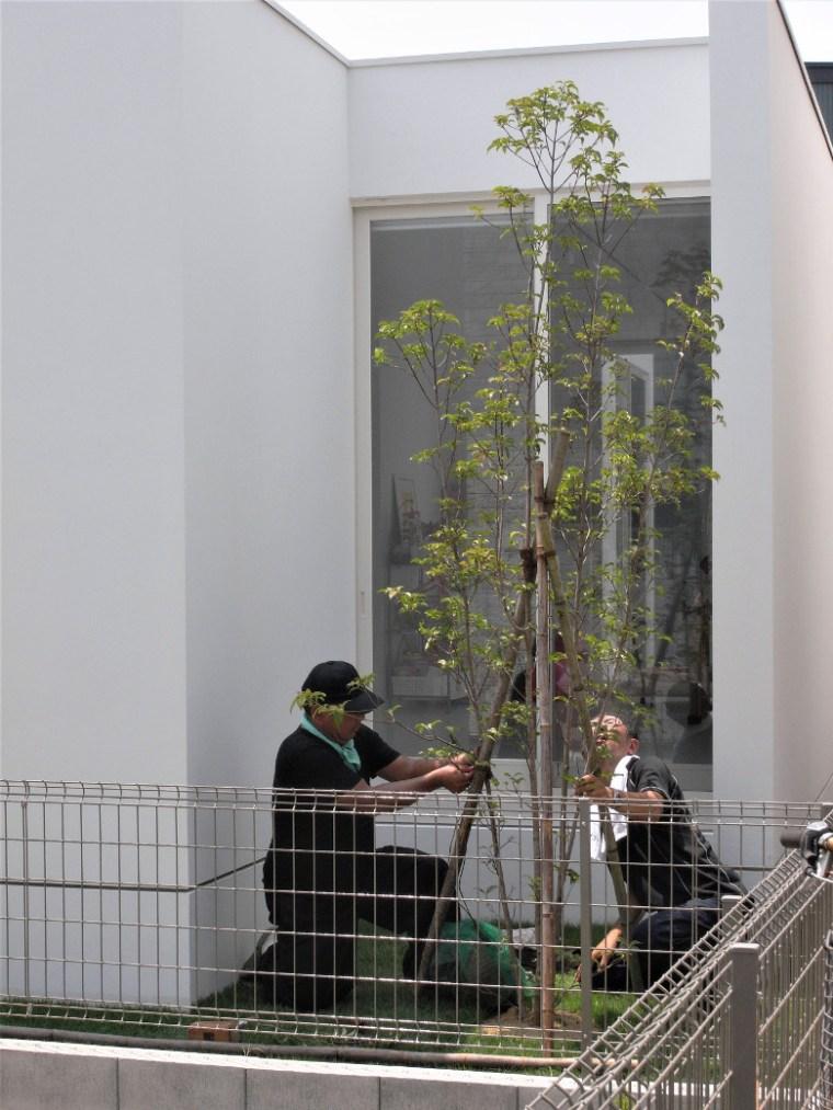 ヤマボウシの支柱固定作業