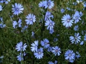 common-wildflowers3