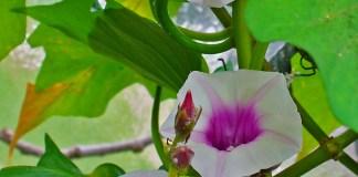 květ batáty