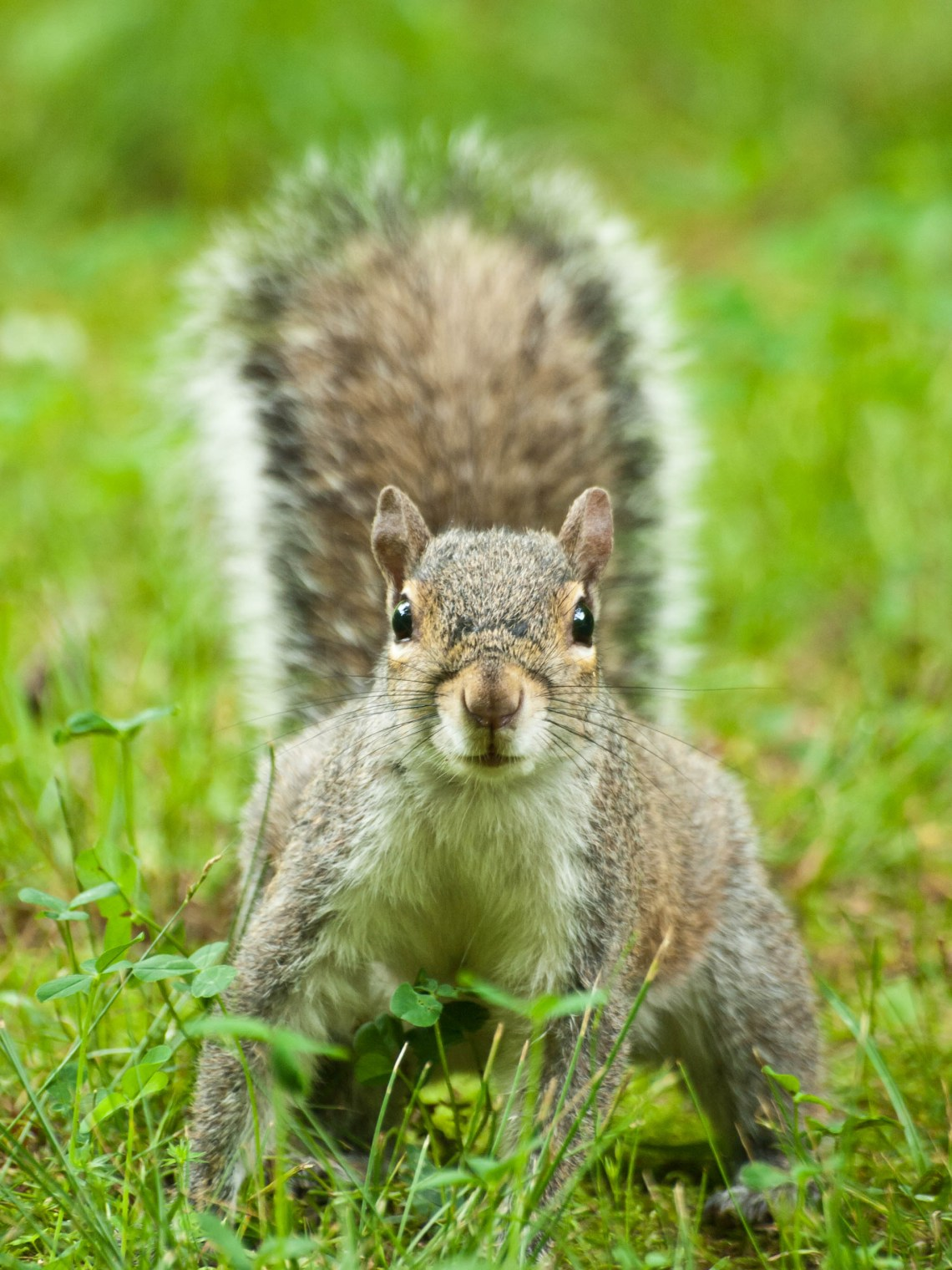 Squirrel at Montgomery Bell State Park in Dickson, County, Tennessee