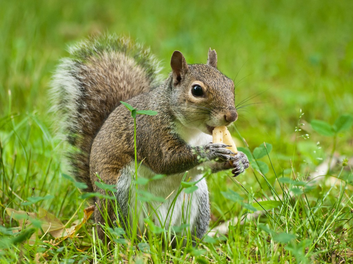 Sharing my French Fries with a Squirrel at Montgomery Bell State Park in Dickson County, Tennessee