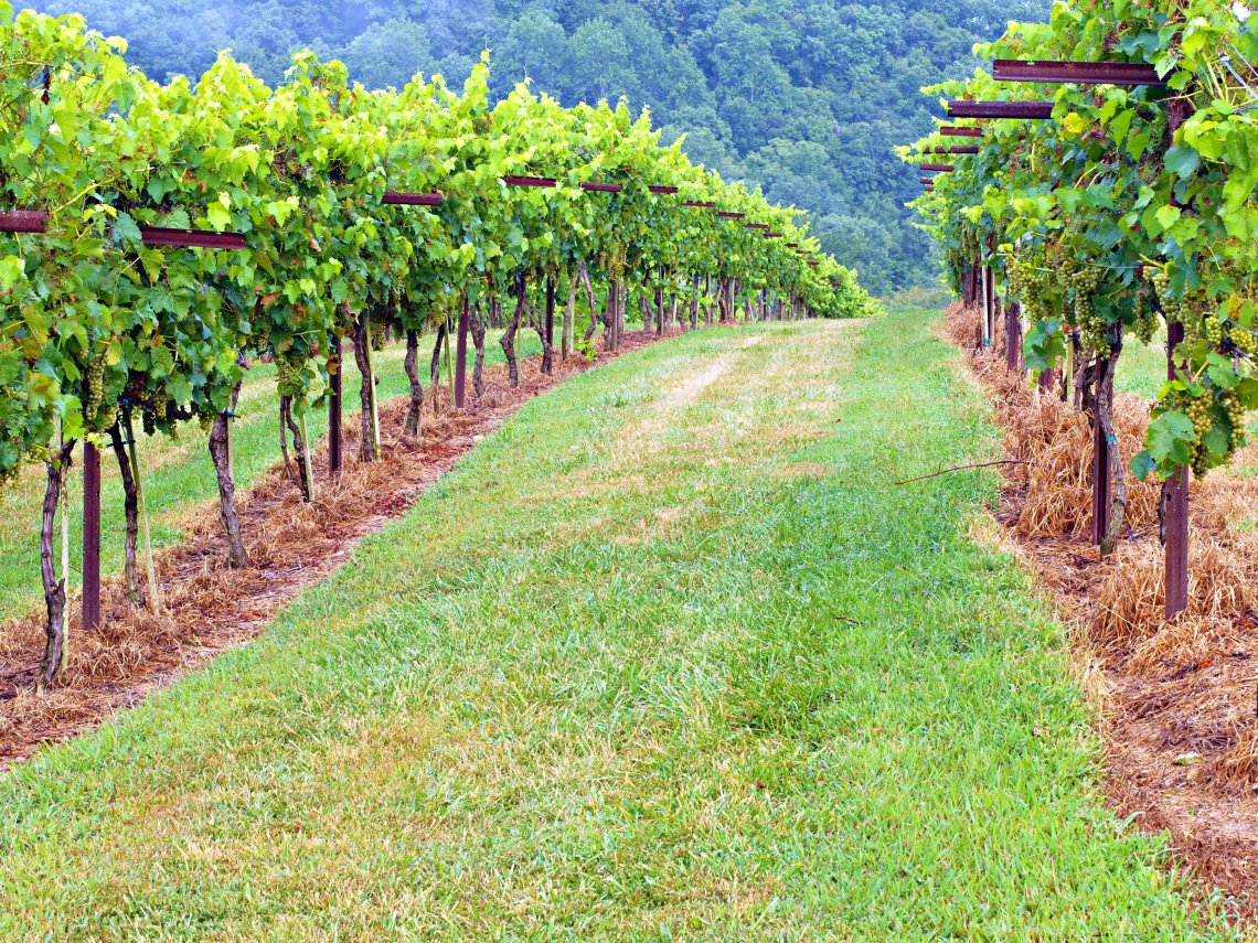 Private Vineyard near Amber Falls Winery in Hampshire, Tennessee