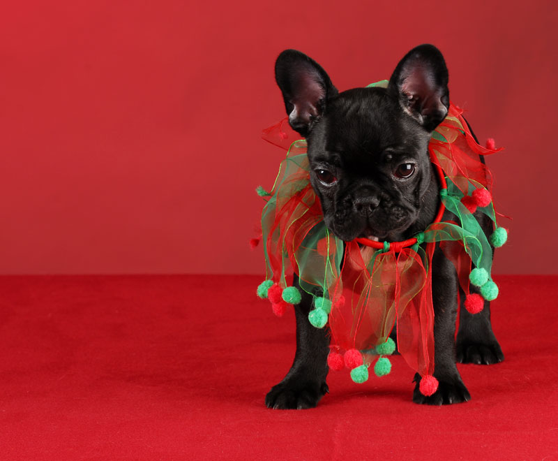 Cute Frenchie Wallpaper 12 Portraits Of Pets In Christmas Costumes The