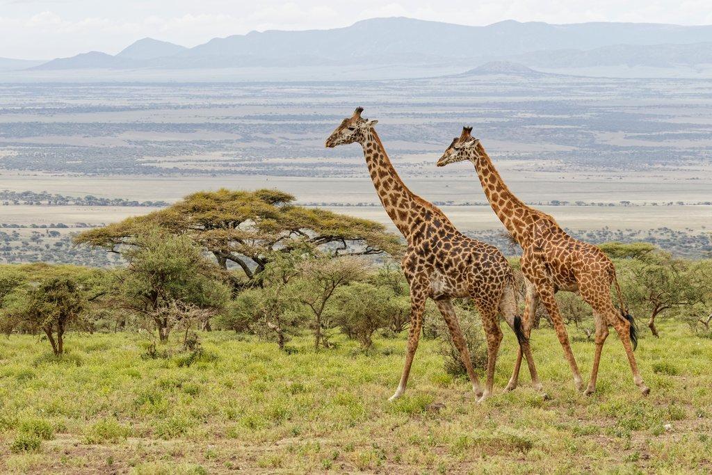 Masai Giraffe (Africa)