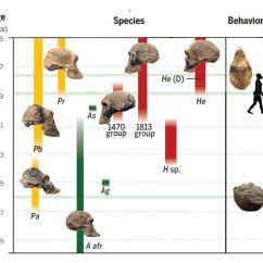 Diagram Of Evolution Timeline Visual Studio 2013 Human Origins Hominen Smithsonian Institution Courtesy