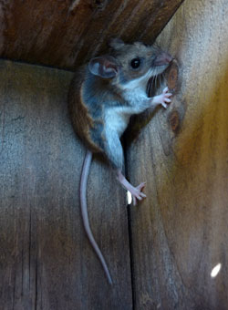 Mice and Roof Rats in Nestboxes