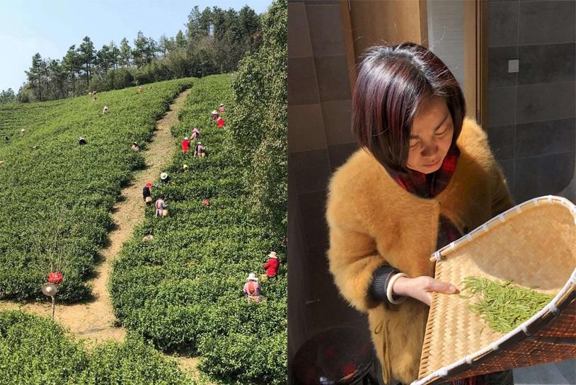 Pre-Qingming tea picking in Hangzhou, Zhejiang province, China