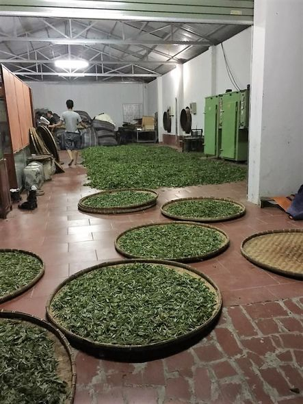 Snow Shan Green Tea processing - freshly picked tea leaves distributed on large round bamboo tray