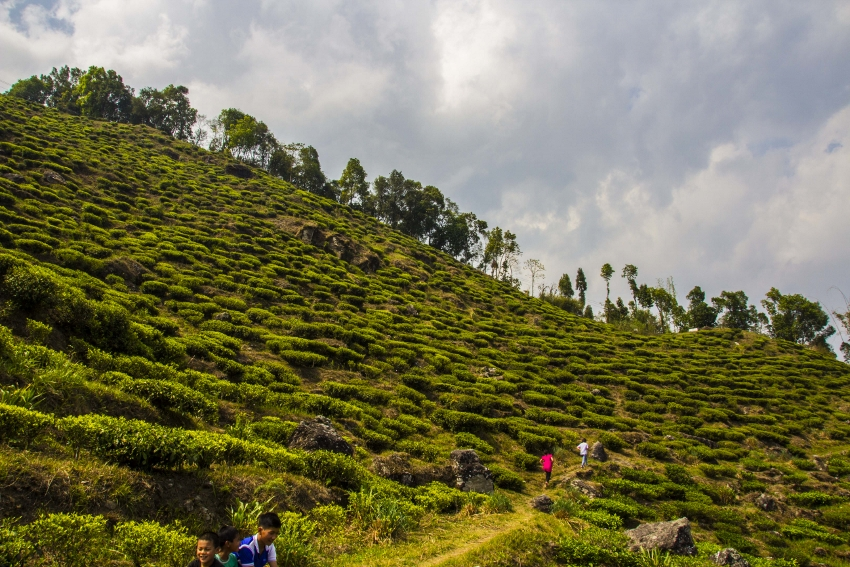Giddahpahar Tea Estate, Kurseong Valley, Darjeeling, north east India