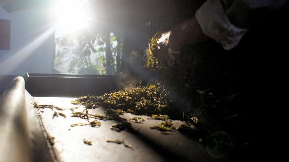 Tea production in Xienkhouang, Laos
