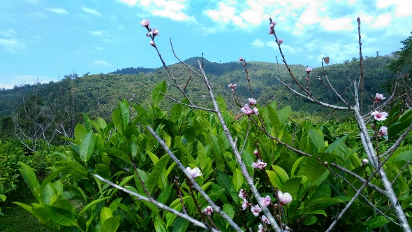 Tea gardin in Xiengkhouang, Laos : natural, biodiverse environment