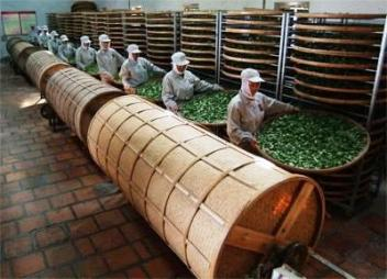 Oolong tea processin in Anxi county: indoor withering and breaking-up the leaf surfaces