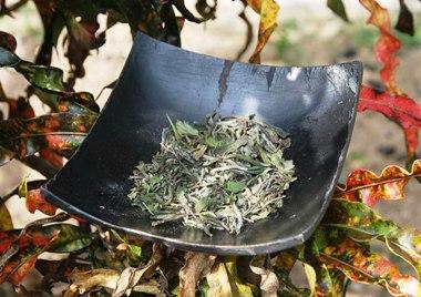 Pai Mu Tan white tea garden Gong Fu Cha