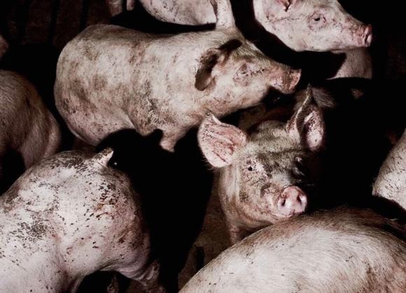 """""""Se gli animali parlassero, l'umanità piangerebbe"""": gli allevamenti intensivi"""
