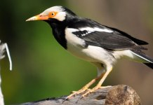 Tips Usaha Sampingan Ternak Burung Jalak Suren