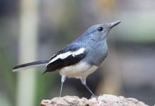 Tips Bisnis Sampingan Ternak Burung Kacer Juara