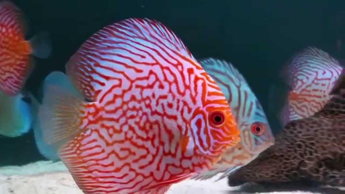 Tips Sukses Peluang Usaha Budidaya Ikan Hias Air Tawar