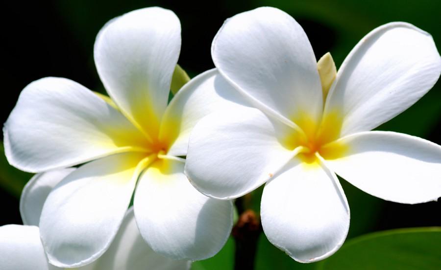 Usaha Bunga Kamboja Jepang Usaha Modal Kecil Dengan Untung Besar