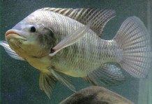 Potensi Agrobisnis Dari Usaha Budidaya Dan Pembesaran ikan Nila