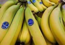 Cara budidaya pisang Cavendish
