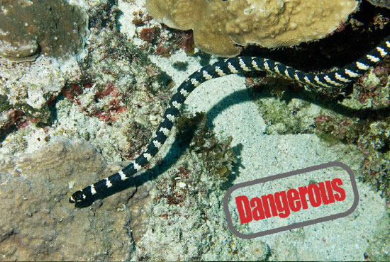 The Most Dangerous creatures in the Ocean  Sea Snake