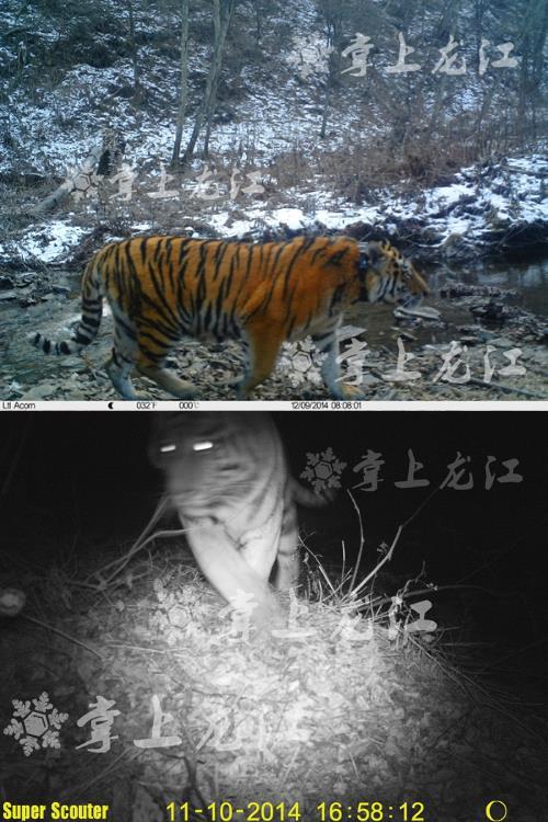 мониторинг тигра кузи