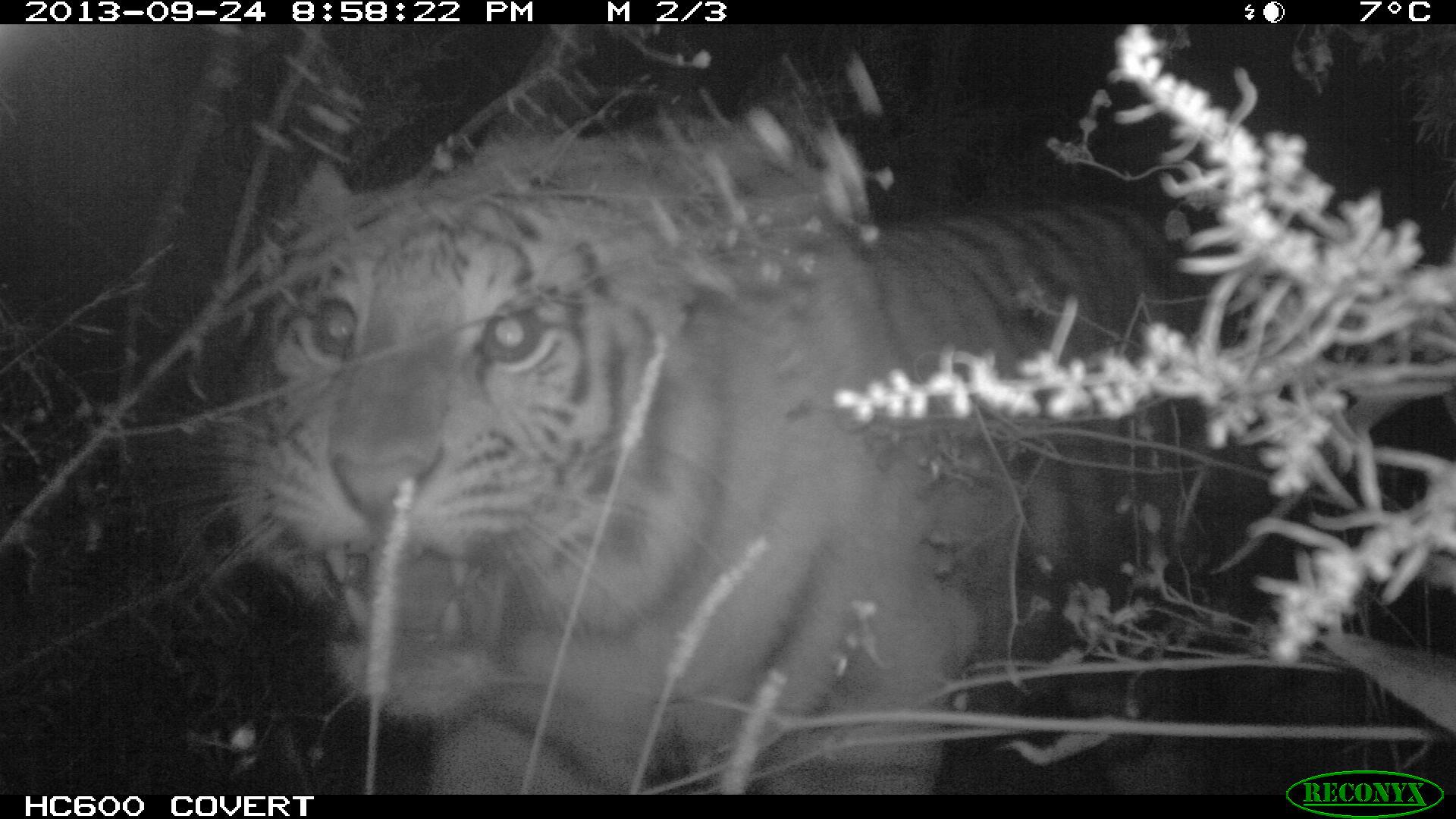 тигр устин в центре реабилитации
