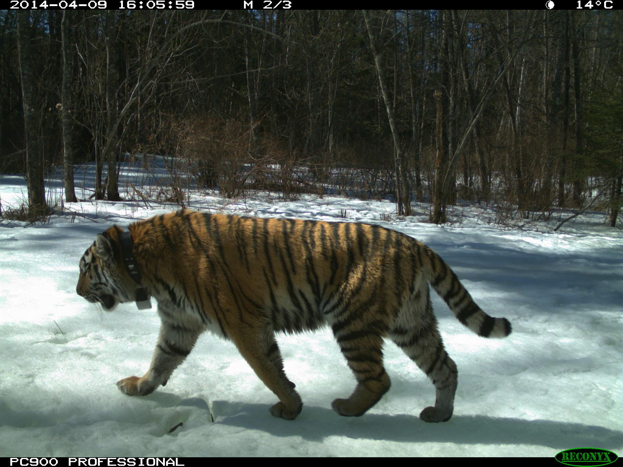 амурский тигр на фотоловушке