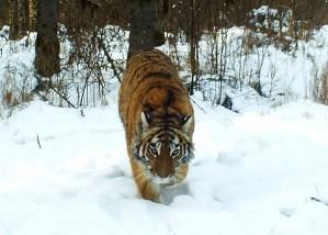 амурская тигрица золушка