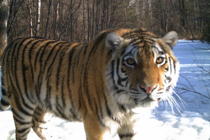 амурский тигр в заповеднике бастак