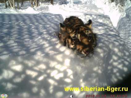 filippa tiger cub