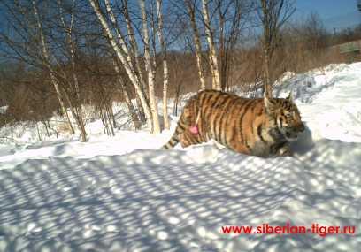 ревакцинация тигрицы от инфекционных заболеваний