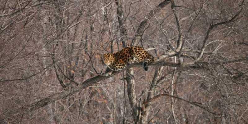 дальневосточный леопард Лео 80М
