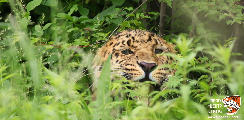 дальневосточный леопард красная книга