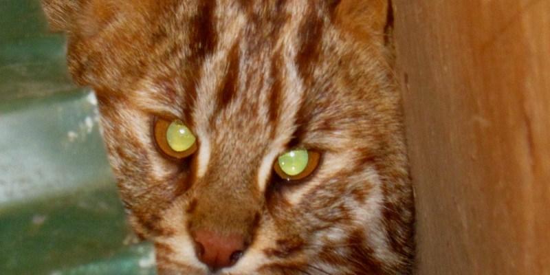 lesnoy kot