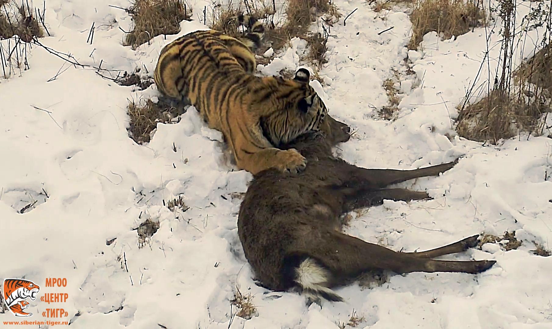 тигрица из Уссурийского района