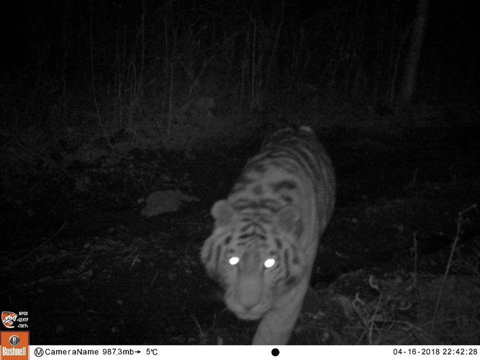 тигры +в дикой природе