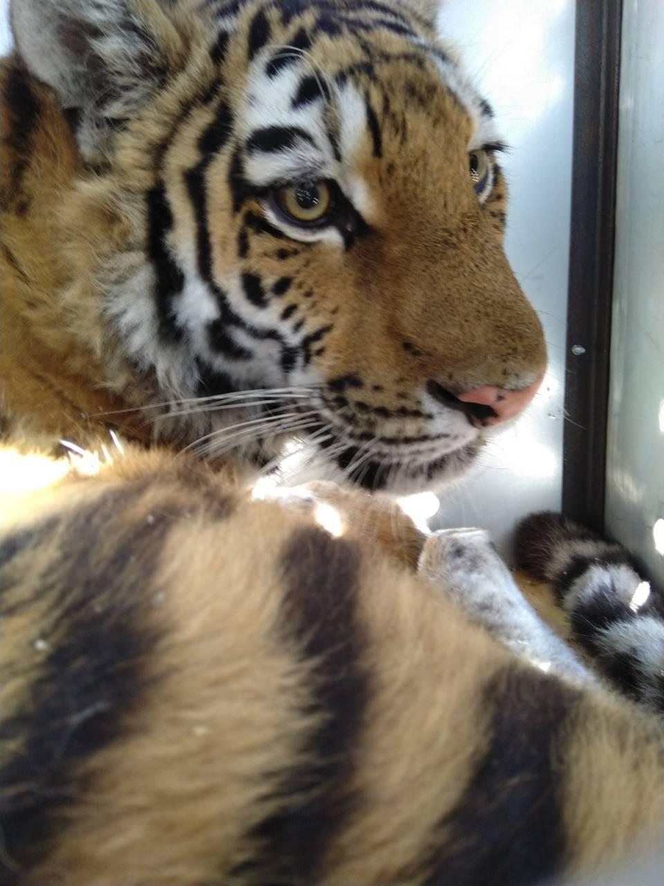 центр амурский тигр