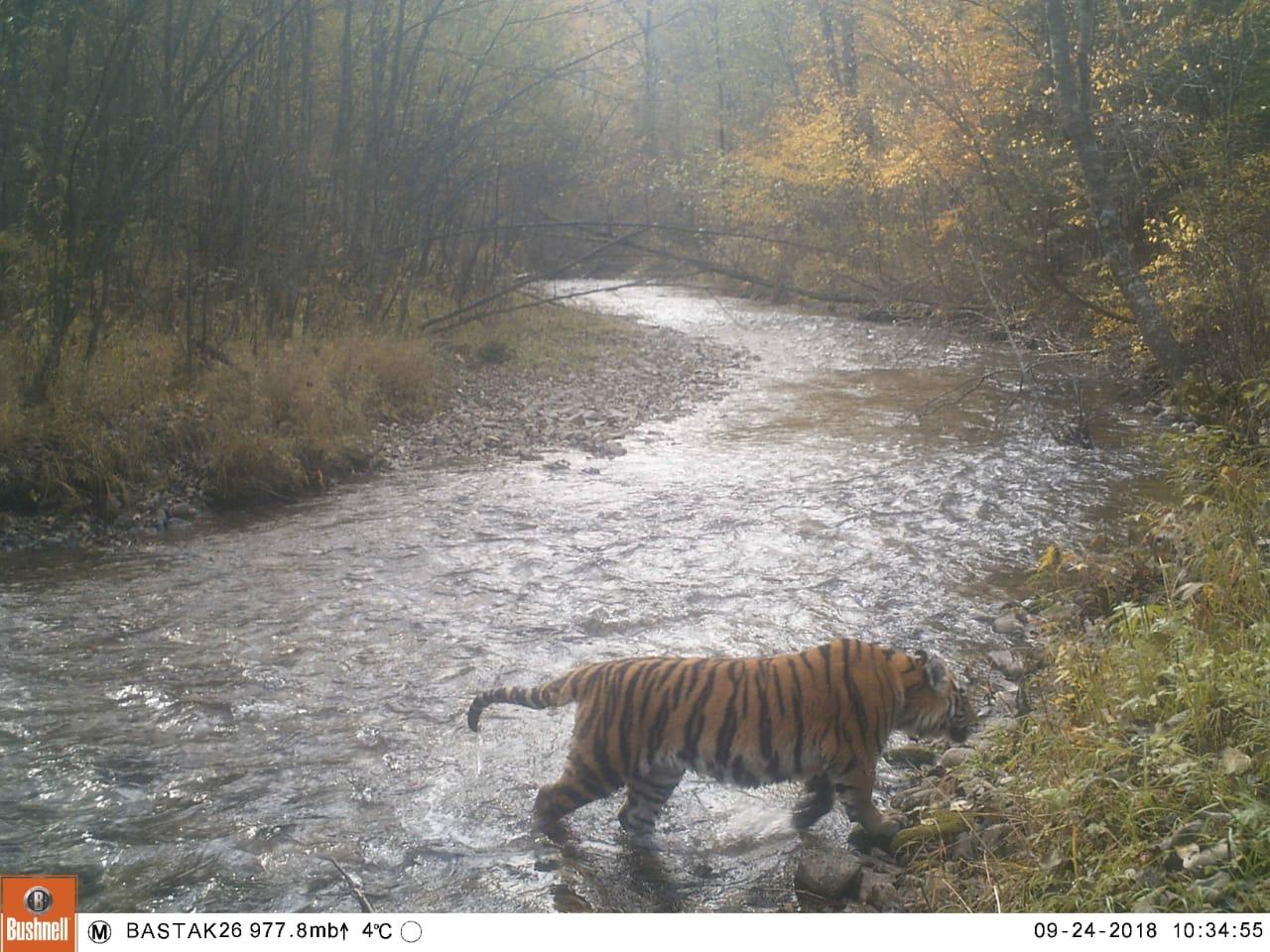 золушка тигрица