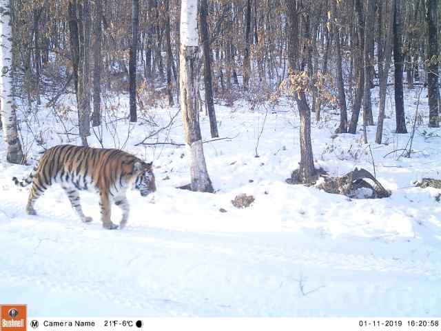 сайт центра амурский тигр