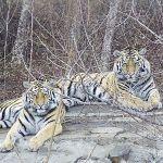амурский тигр красная