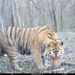 дикая природа амурский тигр