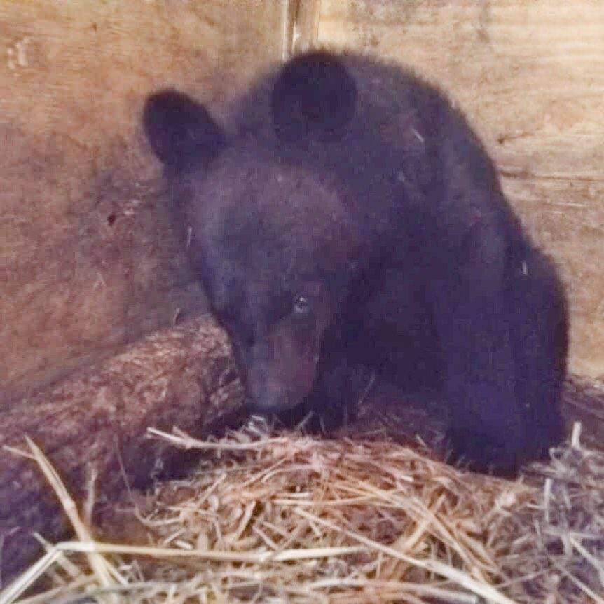 медвежонок сирота