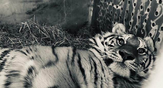 спасение амурского тигра