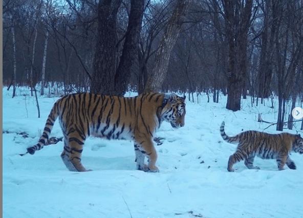 лазовка с тигренком