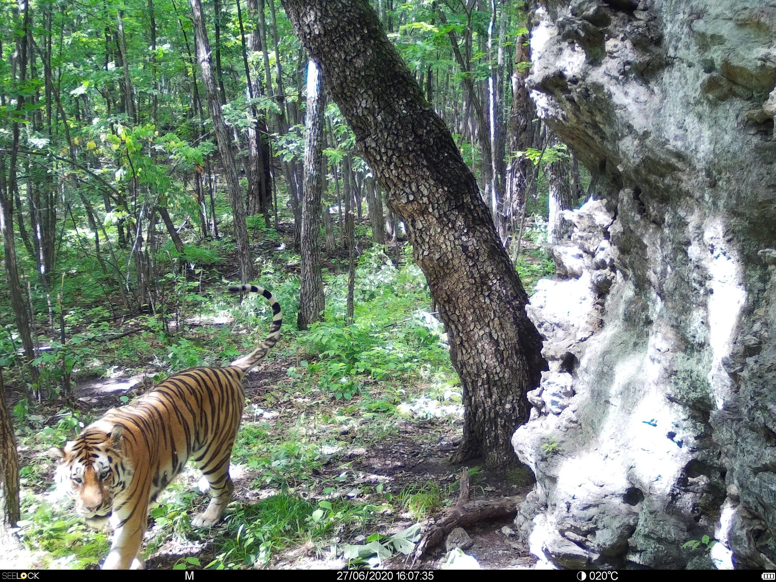 тигр в природе